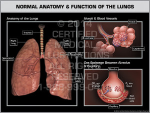 Exhibit of Normal Anatomy & Function of the Lungs.