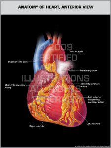 Exhibit of Anatomy of Heart, Anterior View.