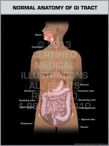 Normal Anatomy of GI Tract