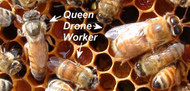 Ultimate Online Beekeeping Course - All 6 Courses | Save $145 LIMITED TIME ONLY