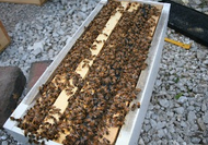 5 Frame Nucleus Of Bees - Overwintered in Illinois. Available for Scheduled Pickup This Week