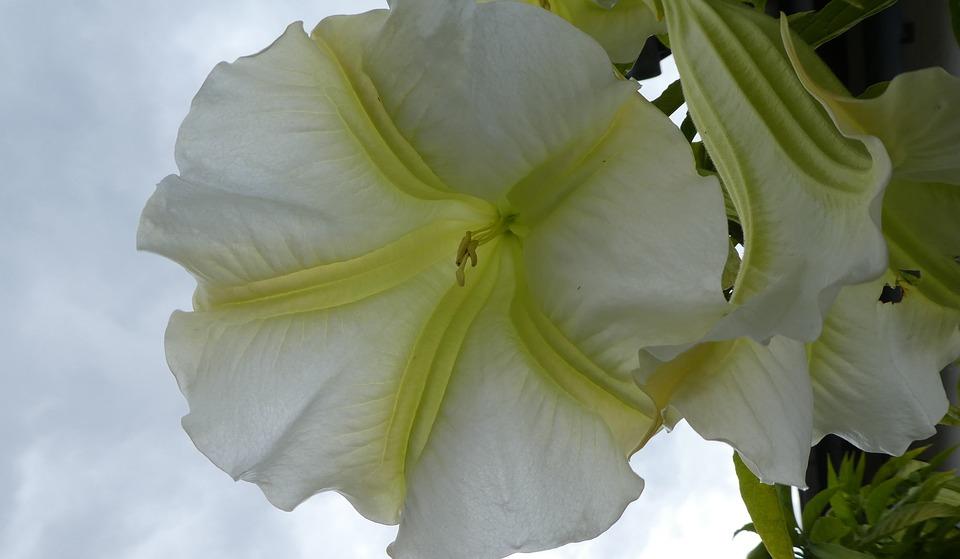 ดอกแตรนางฟ้า ดอกไม้มีพิษ ชื่อเพราะพริ้ง แต่พิษร้ายกาจ