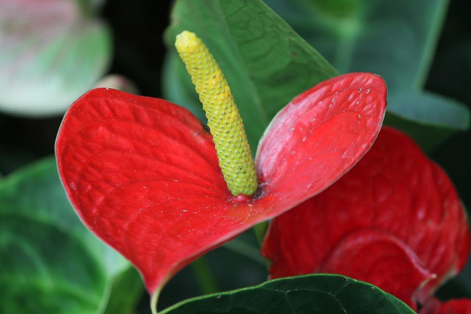 ดอกหน้าวัว ดอกไม้มีพิษรูปร่างสีสันแปลกตา