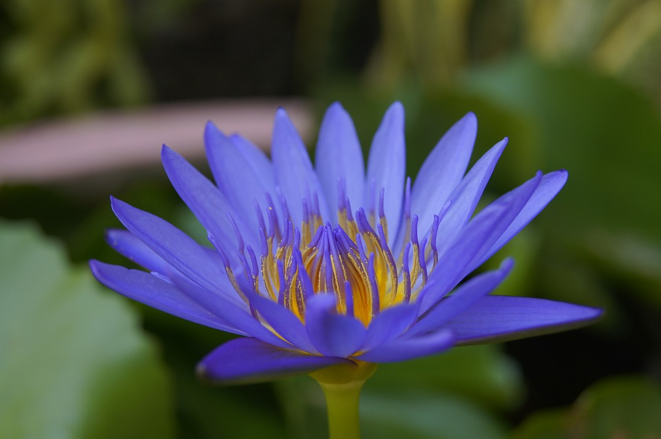 ดอกบัวสีน้ำเงิน-ดอกไม้วาเลนไทน์ที่สื่อถึงจิตใจและปัญญามีชัยชนะอยู่เหนือกิเลสทั้งปวง