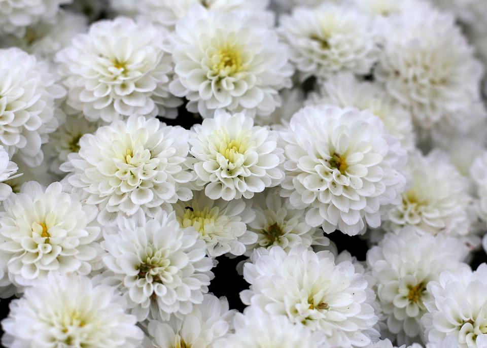 ดอกไม้สมุนไพร - ดอกเบญจมาศ