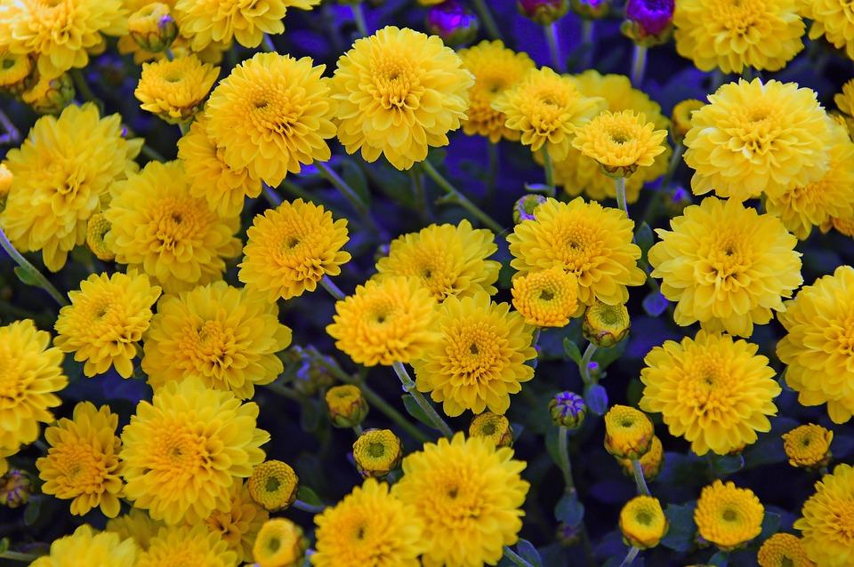 ดอกเบญจมาศ ดอกไม้มีพิษสีเหลืองสดใส