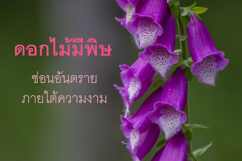 ดอกไม้มีพิษ บุปผาเพชฌฆาตซ่อนความตายภายใต้ความงาม