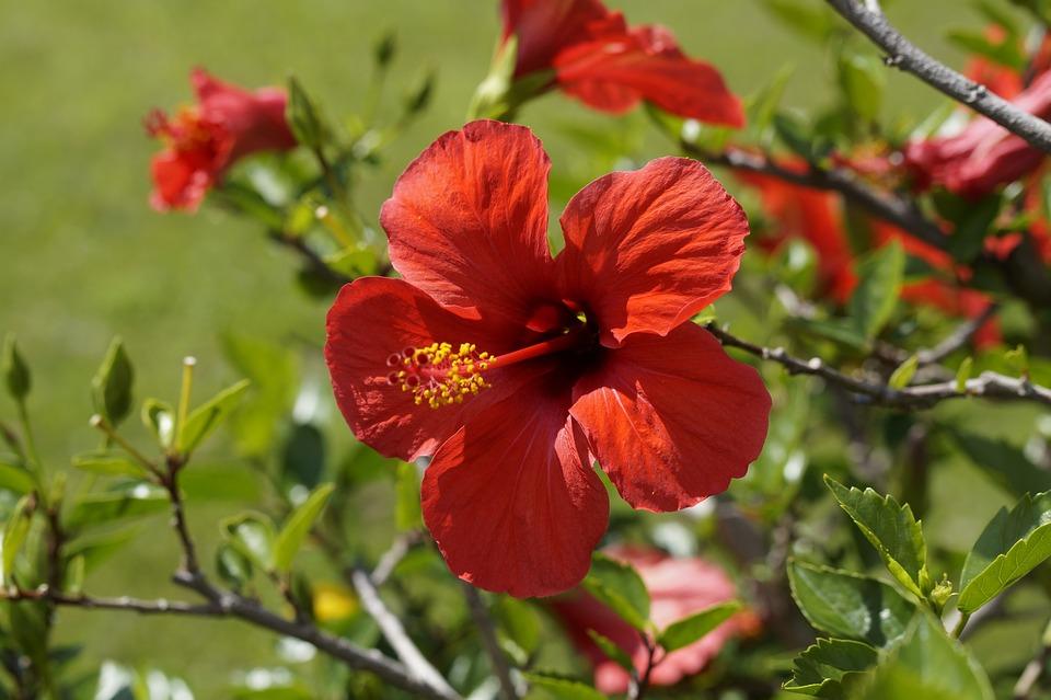 ดอกไม้สมุนไพร - ดอกชบา