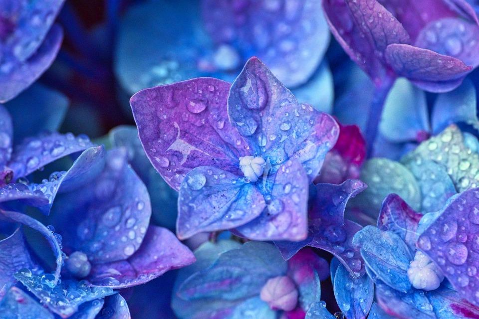 ดอกไฮเดรนเยีย ดอกไม้มีพิษ เด็กเล็กและสัตว์เลี้ยงต้องระวัง