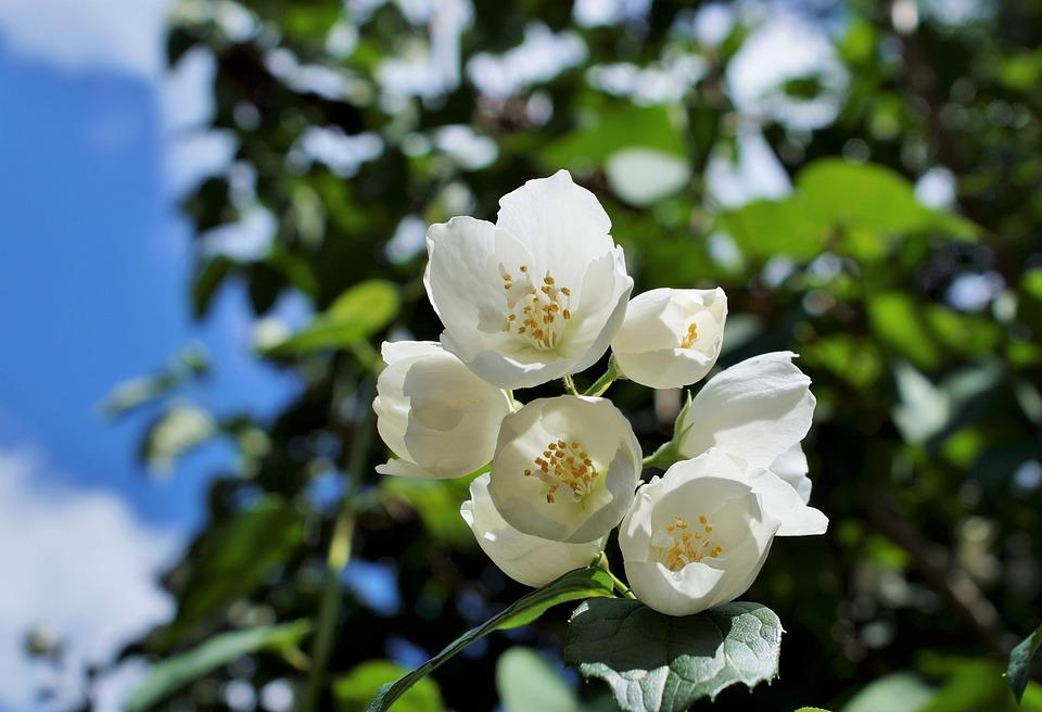 ดอกมะลิ-ดอกไม้วาเลนไทน์ที่สื่อถึงความอ่อนโยนและบริสุทธิ์