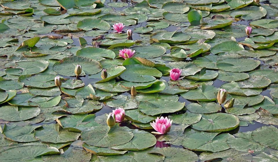 ดอกบัว ดอกไม้แห่งความศรัทธาและความบริสุทธิ์