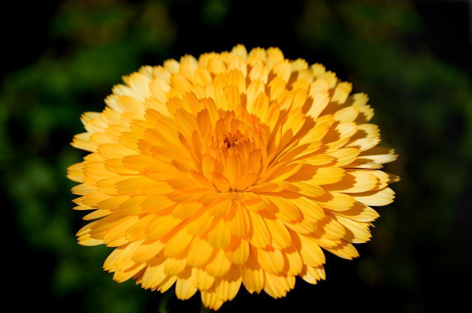 ดอกไม้สมุนไพร - ดอกดาวเรือง