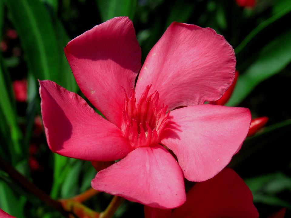 ดอกยี่โถ ดอกไม้มีพิษ สวยงามและมีกลิ่นหอม