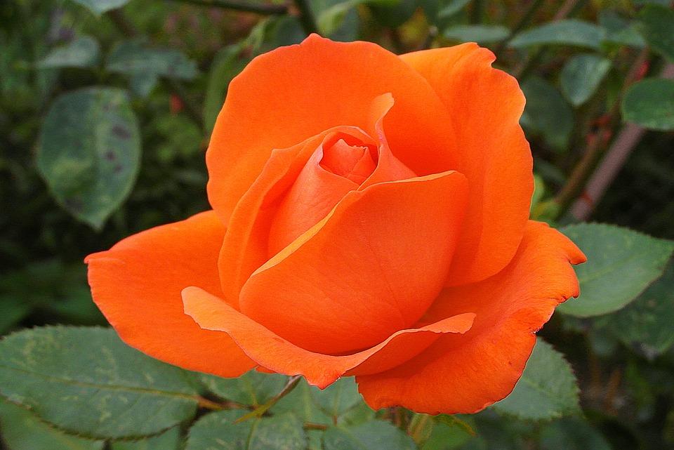 ดอกกุหลาบสีส้ม-ดอกไม้วาเลนไทน์ที่สื่อถึงความสวยงามแฝงความแข็งแกร่ง