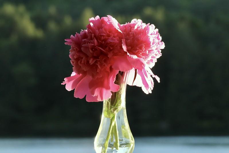 ดอกโบตั๋น ดอกไม้สื่อถึงความจริงใจ
