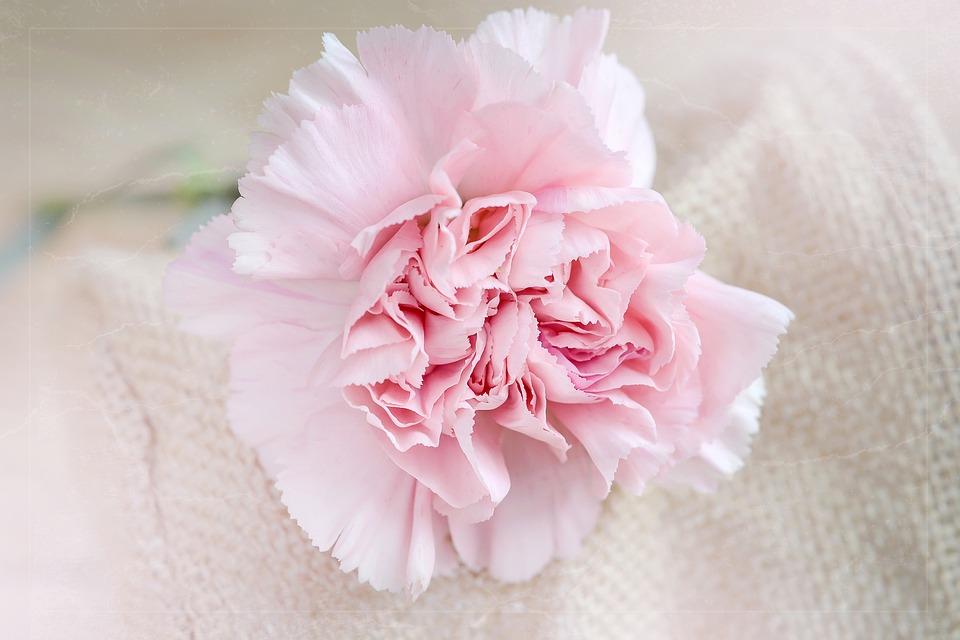 ดอกคาร์เนชั่นสีชมพู-ดอกไม้วาเลนไทน์ที่สื่อถึงความรักที่อ่อนหวานและอ่อนโยน
