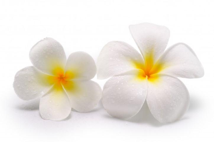 ดอกลีลาวดี 2 ดอก ดอกไม้วันวาเลนไทน์ที่สื่อถึงความรักที่ทุกข์ระทม