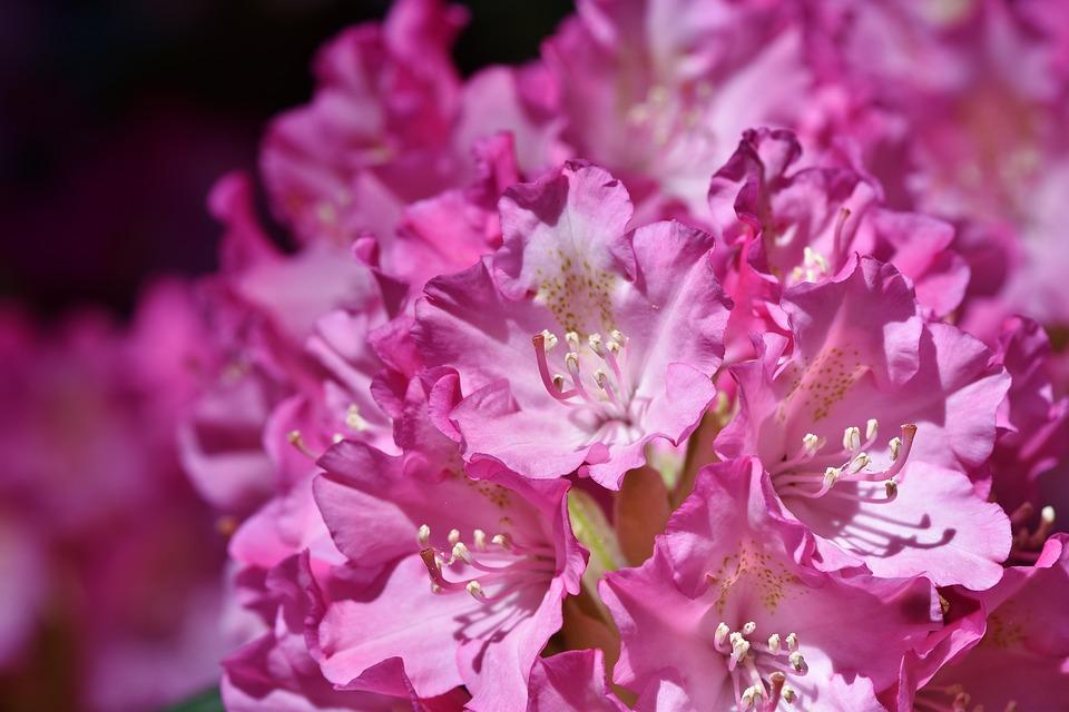 ดอกกุหลาบพันปี ดอกไม้มีพิษ อายุยาวนานนับพันปี