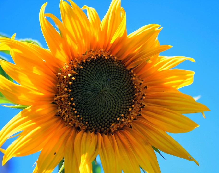 ดอกทานตะวัน-ดอกไม้วาเลนไทน์ที่สื่อถึงความถือตัวและหยิ่งในศักดิ์ศรี