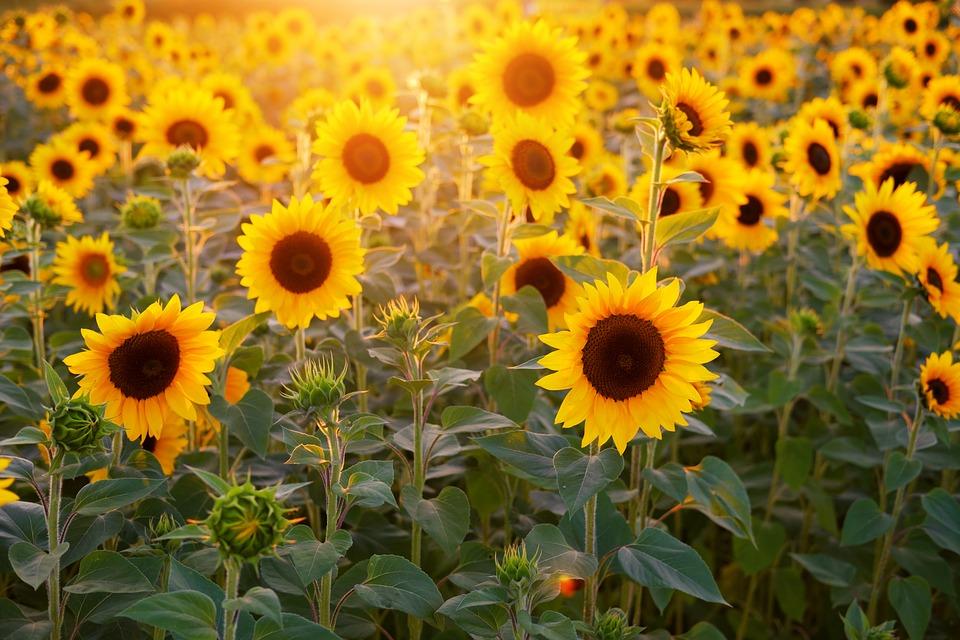 ดอกไม้สมุนไพร - ดอกทานตะวัน