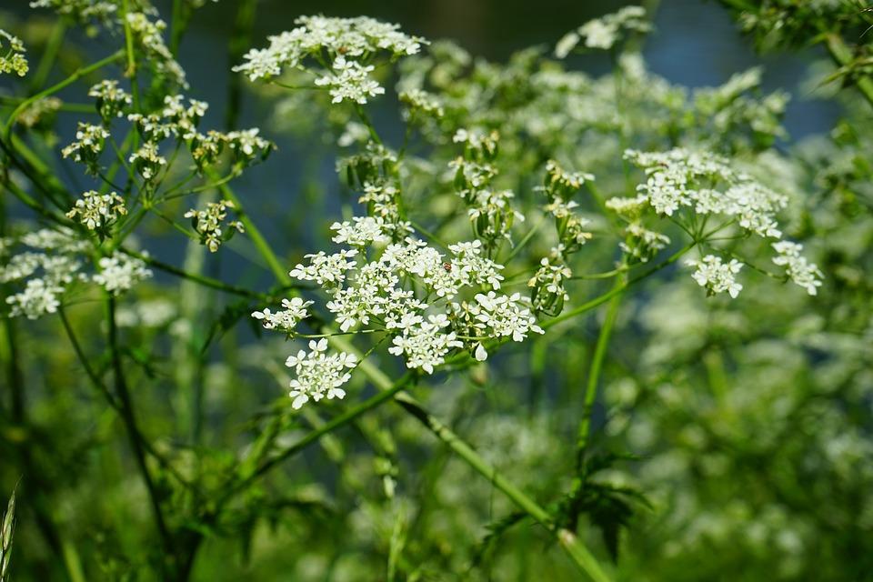 ดอกวอเตอร์ เฮมล็อก ดอกไม้มีพิษที่ร้ายแรงที่สุด