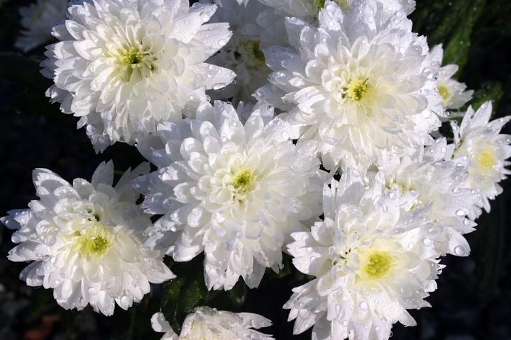 ดอกเบญจมาศสีขาว ดอกไม้วันวาเลนไทน์ที่สื่อถึงการบอกลาคนรัก