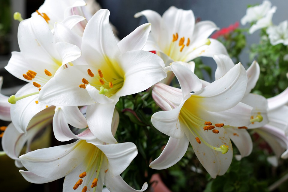 ดอกลิลลี่สีขาว-ดอกไม้วาเลนไทน์ที่สื่อถึงความรักอันบริสุทธิ์ หรือความรักครั้งแรก