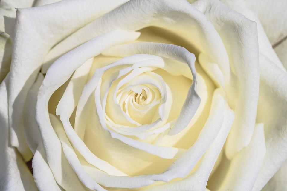 ดอกกุหลาบสีขาว-ดอกไม้วาเลนไทน์ที่สื่อถึงความรักแท้อันบริสุทธิ์และจริงใจ