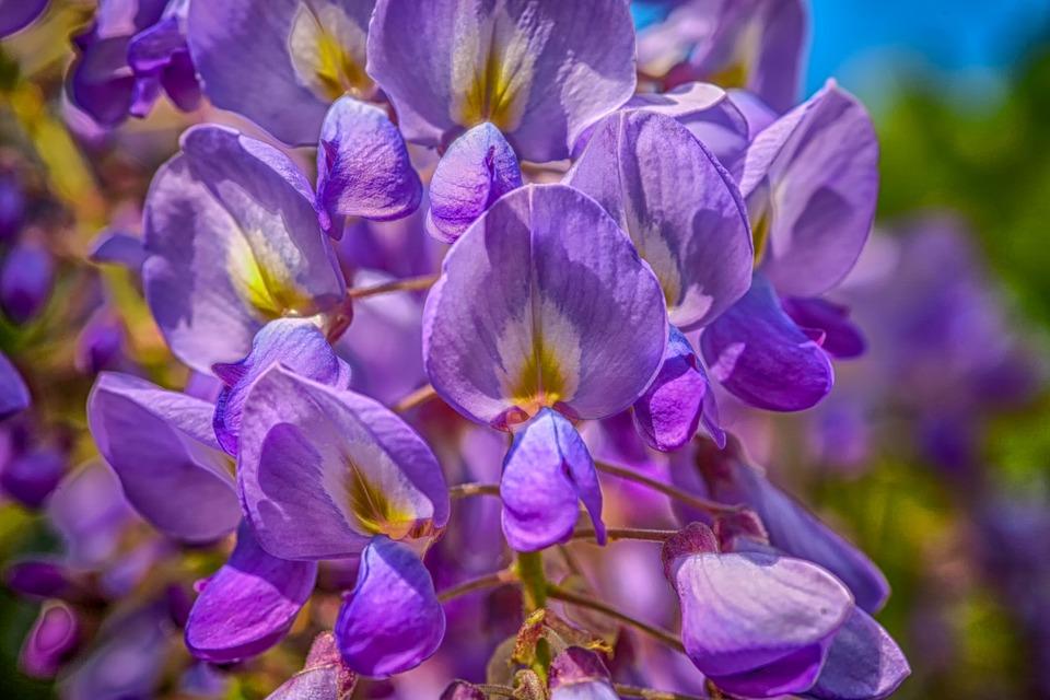 ดอกวิสเทอร์เรีย ดอกไม้มีพิษอันตรายถึงชีวิต