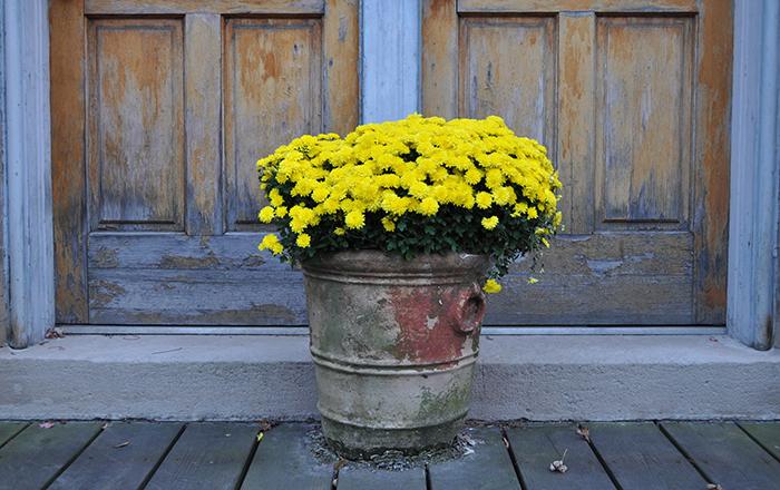 ดอกเบญจมาศ ดอกไม้แห่งการนำโชค