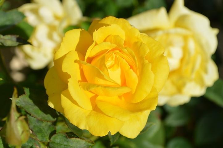 ดอกกุหลาบสีเหลือง ดอกไม้วันวาเลนไทน์ที่สื่อถึงความรักแบบมิตรภาพ