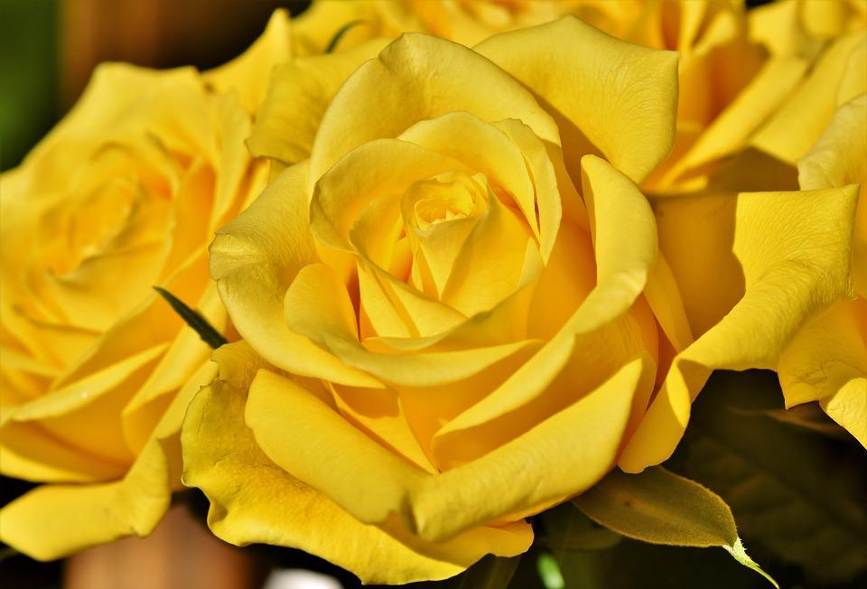 ดอกกุหลาบสีเหลือง-ดอกไม้วาเลนไทน์ที่สื่อถึงความรักที่จริงใจ