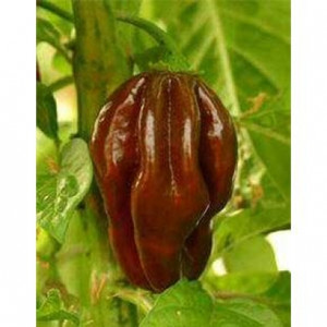 Devil's Tongue Chocolate seeds