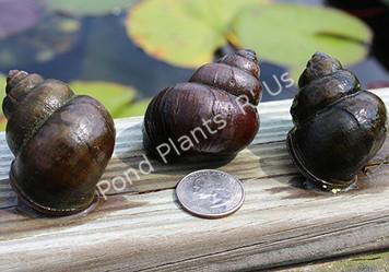 Jumbo Trapdoor Pond Snails - Vivaparous Malleatus