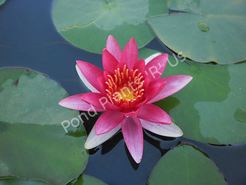Aflame (Escarboucle)- Red Hardy Water Lily