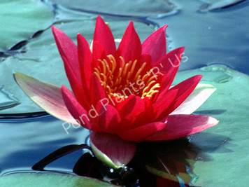 Laydekeri Fulgens- Red Hardy Water Lily