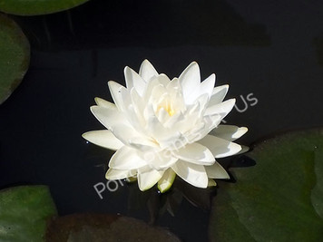 Gonnere- White Hardy Water Lily