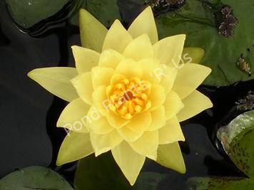 Chromatella- Yellow Hardy Water Lily