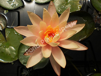 Georgia Peach- Peach/Orange Hardy Water Lily
