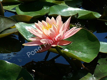 Sunny Pink- Peach/Orange Hardy Water Lily