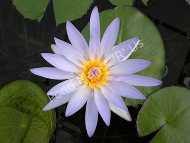Blue Beauty- Blue Tropical Water Lily