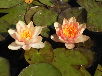 Unsorted Changeable- Hardy Water Lily