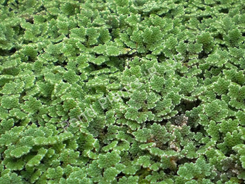 Azolla- Floating Plant