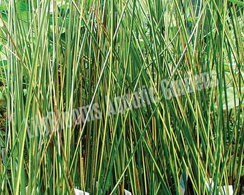 Goldstrike Rush- Hardy Bog Plant