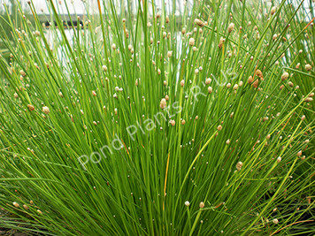 Spike Rush- Hardy Bog Plant