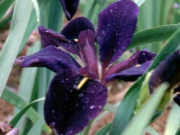 Black Gamecock- Purple Louisiana Iris