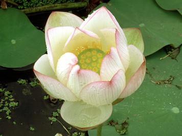 Chawan Basu- Hardy Water Lotus