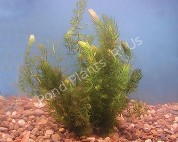 Hornwort- Submerged Plant