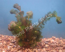 Cabomba- Submerged Plant