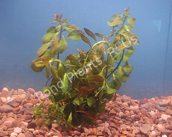 Red Ludwigia- Submerged Plant